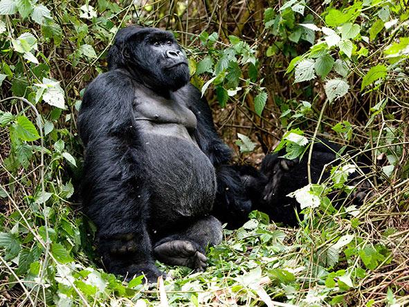Rwanda Gorilla Encounter - Gallery 2