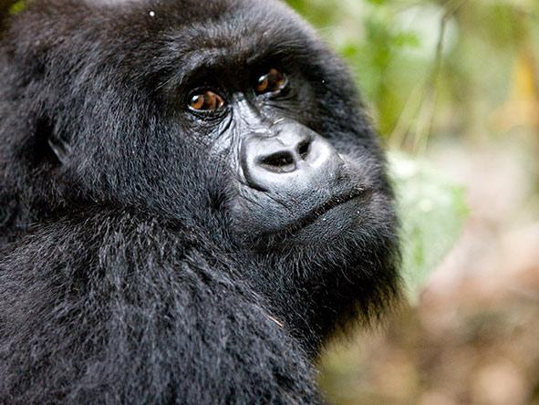Rwanda Gorilla Encounter - Gallery 5