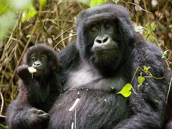 Rwanda Gorilla Encounter - Gallery 6