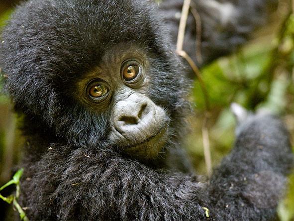 Rwanda Gorilla Encounter - Gallery 7