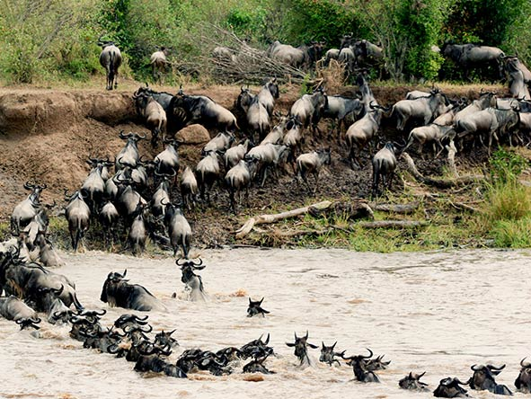 The collection's Mara Plains Camp is superbly located for the migration's dramatic river-crossing season.