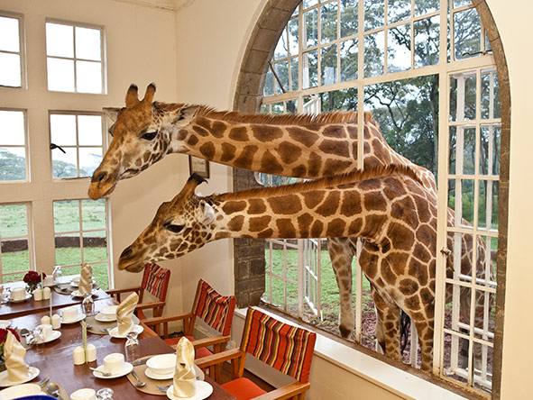 Giraffe Manor in Nairobi is the Safari Collection's most unforgettable property!