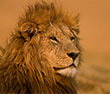 Where to Go in Africa to See Lions Similar