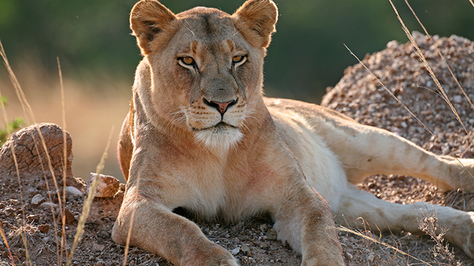 Where to Go in Africa to See Lions