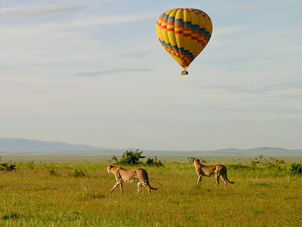 Cheetahs on the Masai Mara are oblivious to the balloon gliding quietly above them.