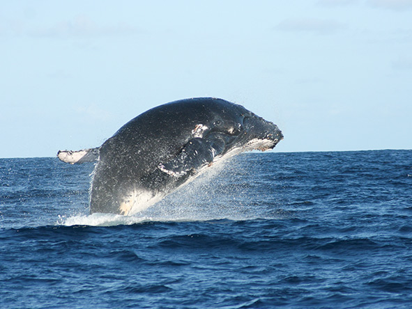 A whale greets the open air with an out-the-water breech