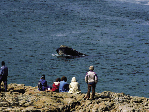 Whale watching is a great experience for the whole family, particularly in the town of Hermanus.