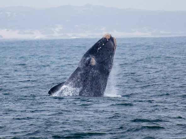 A full breech is one of the highlights of a water-based whale watching trip.