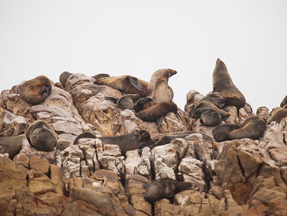 You might spot more than whales on your expedition! Here a group of Cape fur seals soak up the sun.