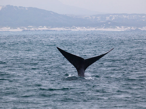 A whale tail waves 'hello' as you sail on by.