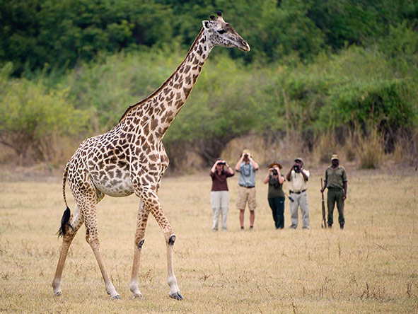A giraffe makes a suitably impressive subject to watch & photograph on your walking safari.