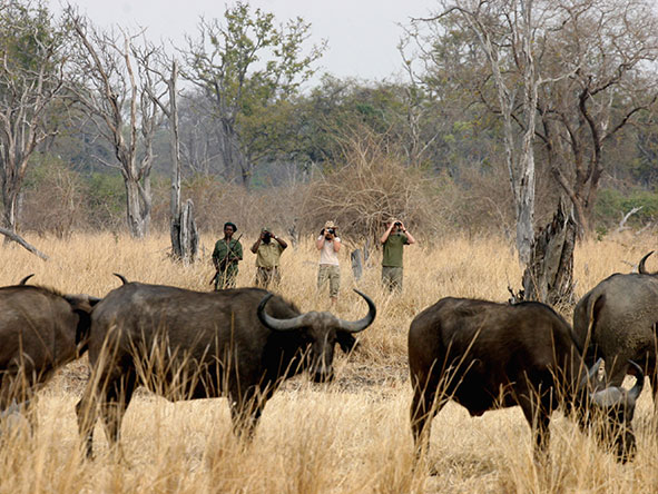 Despite their fearsome reputation, buffalo can be approached quite close while on foot.
