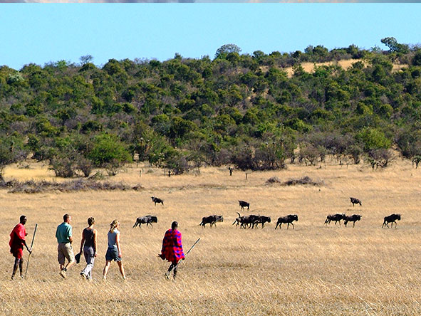 Many private Masai Mara & Serengeti reserves offer walking safaris during the wildebeest migration.