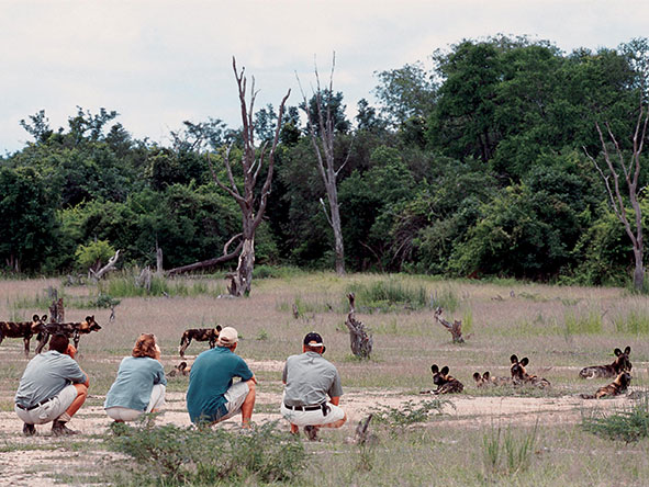 African wild dogs show little fear of humans as a walking group settles down among them.