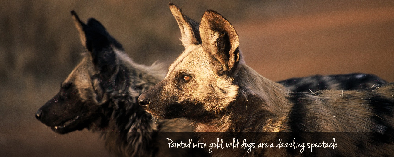 Where to Go in Africa to See Wild Dog