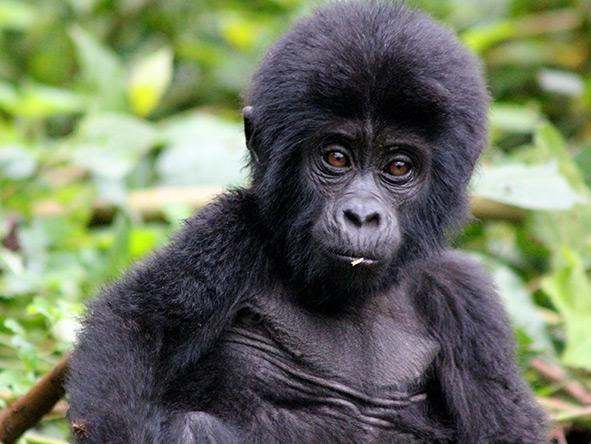 Exciting Gorilla Encounter - Gallery 6
