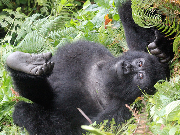 Exciting Gorilla Encounter - Gallery 7