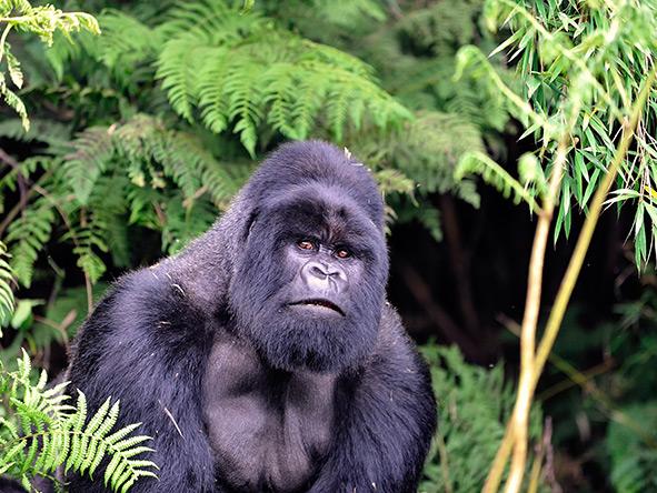 Exciting Gorilla Encounter - Gallery 8