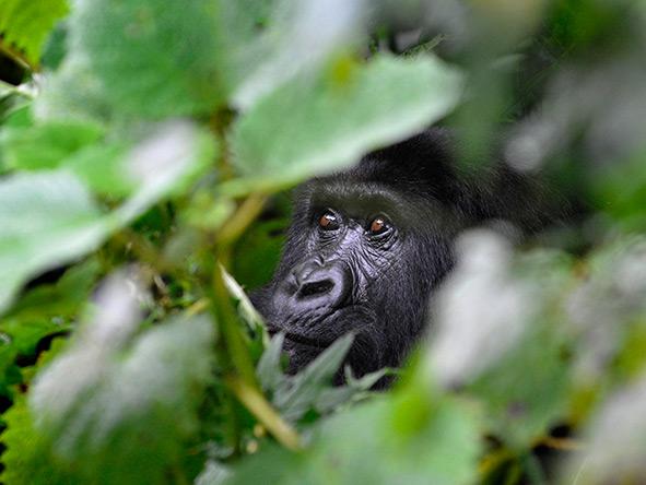 Exciting Gorilla Encounter - Gallery 9
