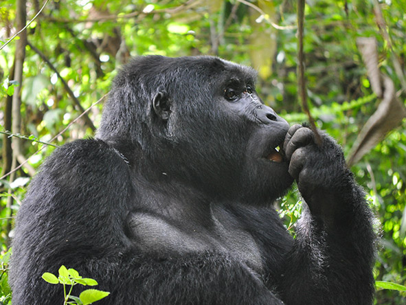 Exhilarating Gorilla Trekking Experience - gallery 8