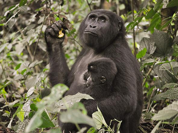 Exhilarating Gorilla Trekking Experience - gallery 9