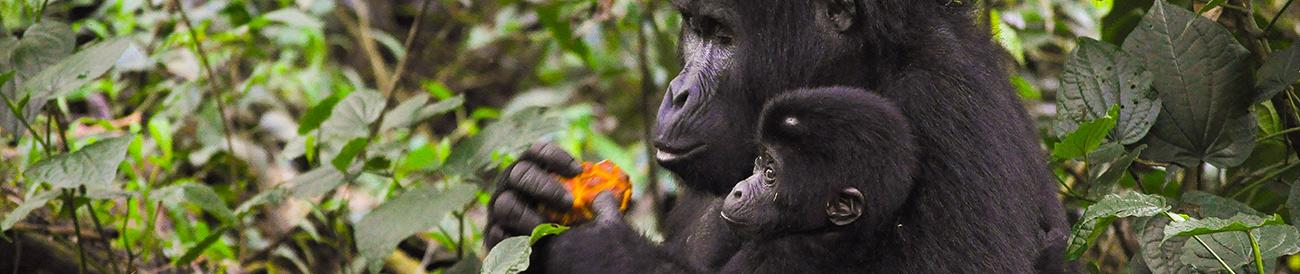 Exhilarating Gorilla Trekking Experience - banner