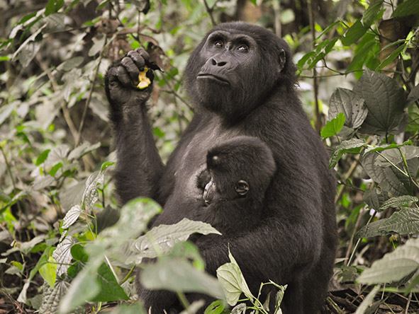 Chimps, Gorillas & Game Explorer - Gallery 8