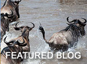 How the Wildebeest Migration Works