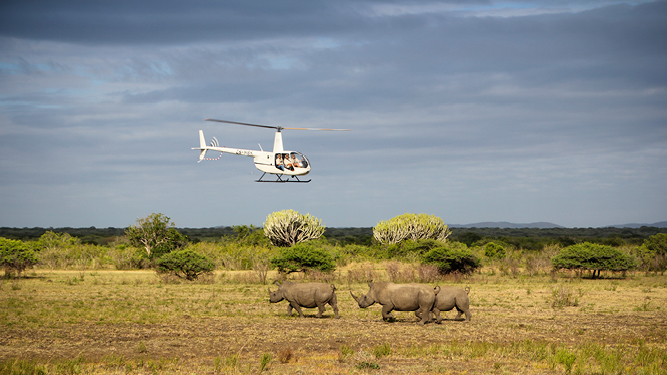 Helicopters are essential during the translocation process. First, to find and identify the targeted rhino, and then to dart it safely.