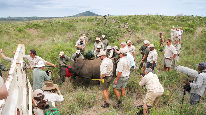 Moving one rhino safely and humanely requires a highly coordinated team of experienced specialists.