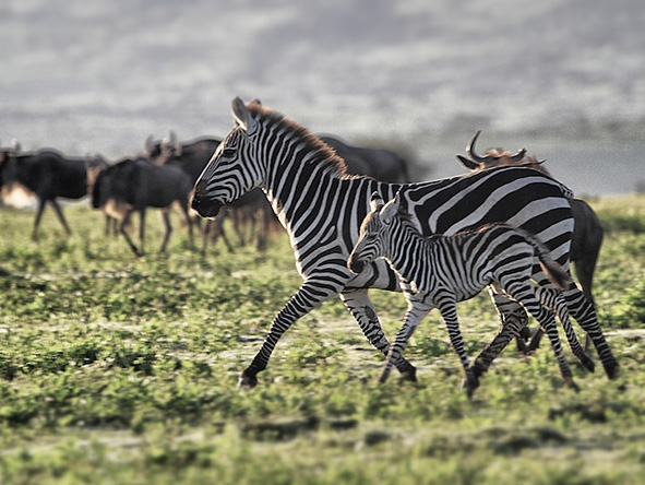 Serengeti wildlife: Zebra