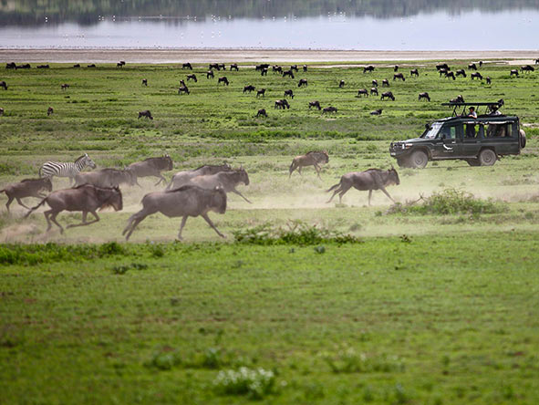 Serengeti wildlife: Wildebeest migration