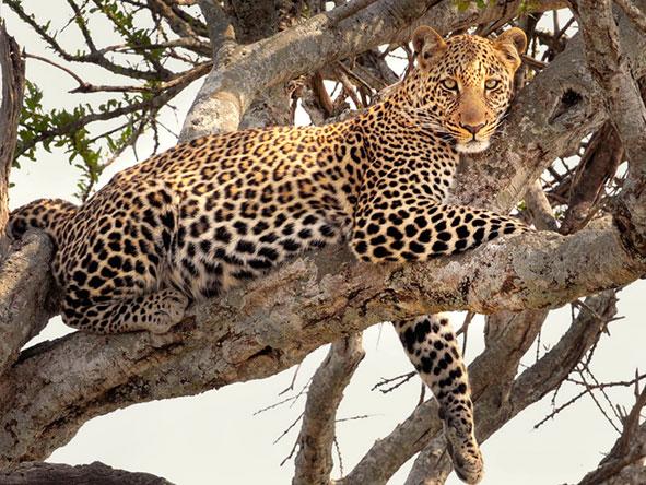 Elephant Bedroom Camp - Leopard