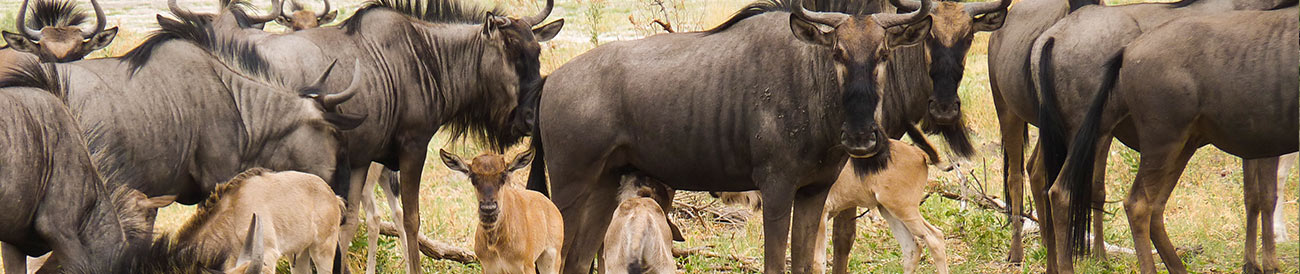 The Wildebeest Migration - December to March