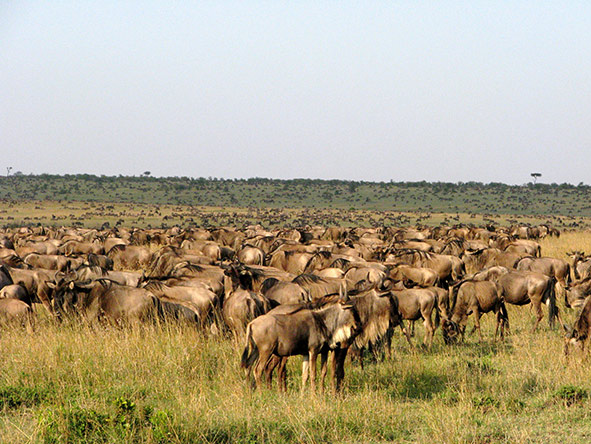 A wildebeest herd in the Serengeti