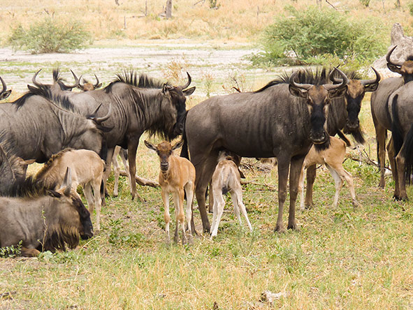 Young wildebeest are born.