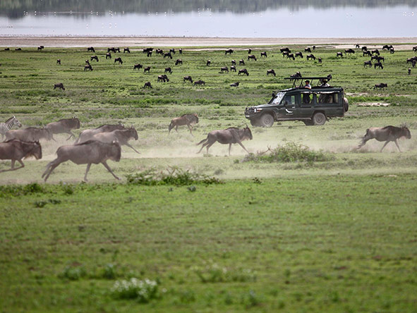 Wildebeest at full gallop.