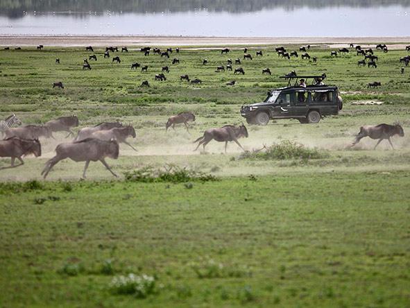 Wildebeest at full gallop.