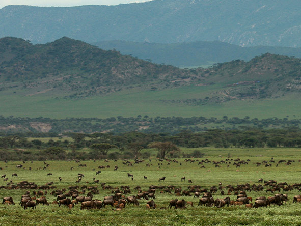 The wildebeest scattered across the plains.