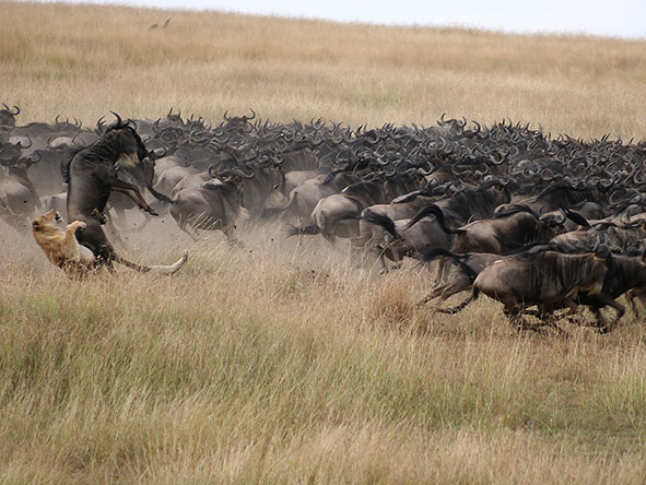 A lion takes out a wildebeest.