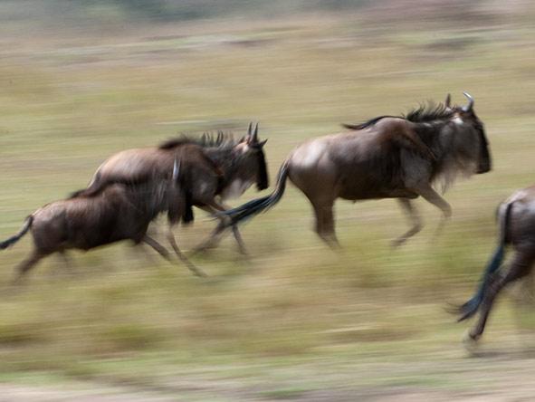 Wildebeest on the move.