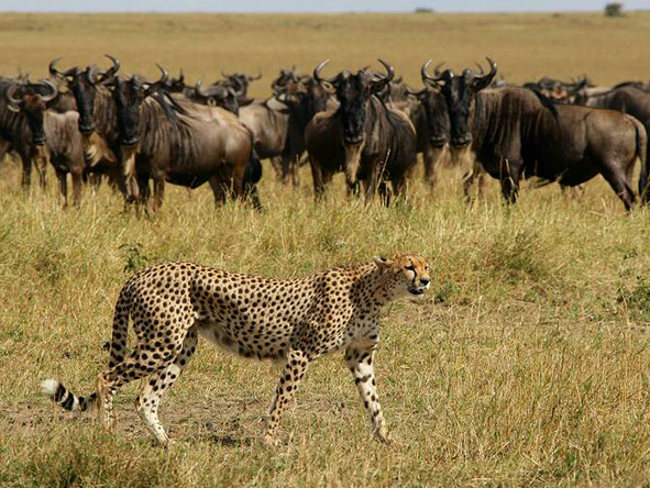 A cheetah stalks the plains.