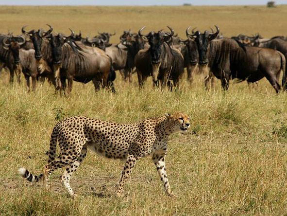 A cheetah stalks the plains.