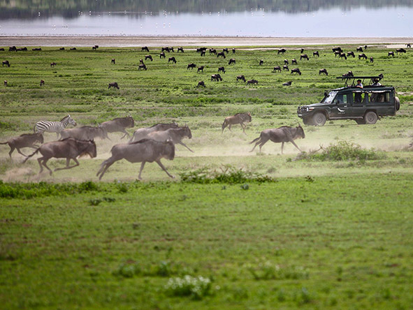 East Africa Safari - running wildebeest