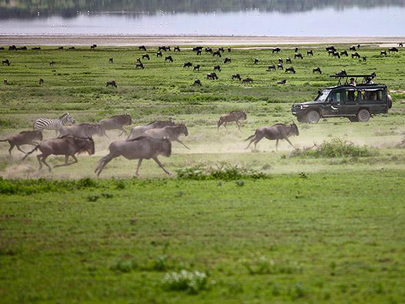East Africa Safari - running wildebeest
