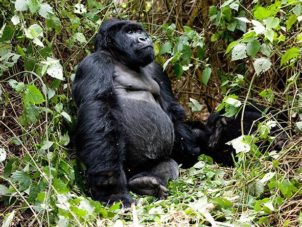 East Africa Safari - gorilla trekking
