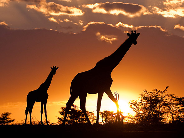 A Giraffe And Her Calf Silhouetted Against The Sunset In The Masai Mara Kenya