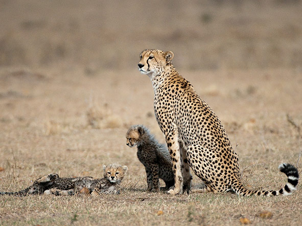 East Africa Safari - Cheetah and cubs