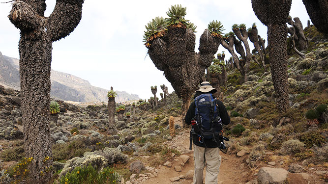Make it Up Kilimanjaro - interesting vegetation