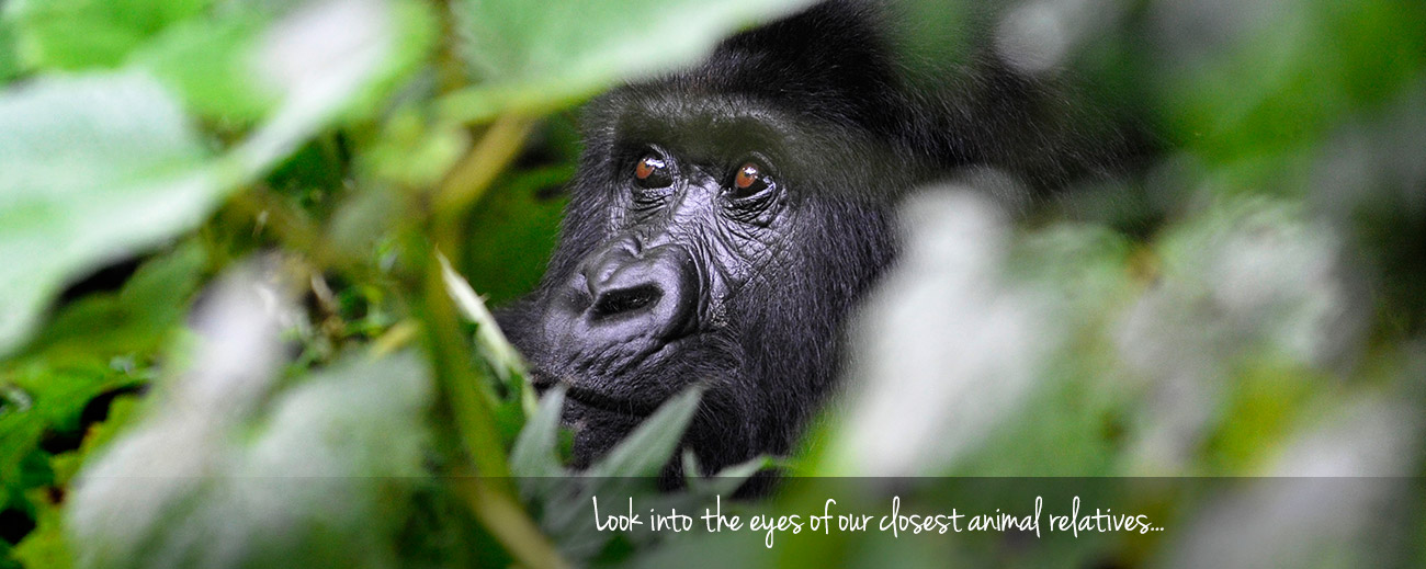 Where to Go in Africa to See Gorillas